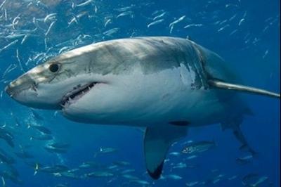 Científicos analizan anticuerpos de tiburón para desarrollo de fármacos