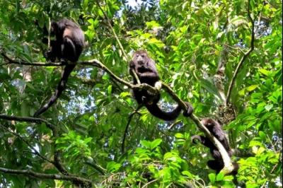 Los monos aulladores negros recuerdan la ubicación de sus árboles frutales favoritos